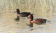 Ferruginous ducks